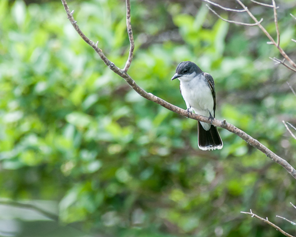 Eastern Kingbird Perched Near Nest