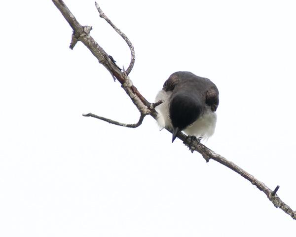 Eastern Kingbird Hunting