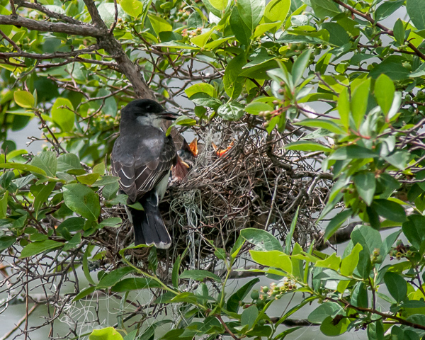Eastern Kingbird at Nest -- Feeding Time