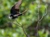 Eastern Kingbird Taking Flight