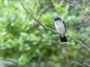 Eastern Kingbird Perched Near Nest