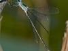 Swamp Spreadwing (male)