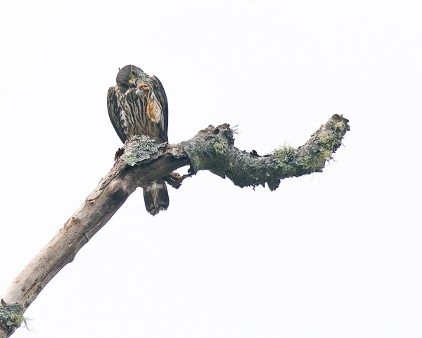 Male Merlin Preening (4:44:13 PM)