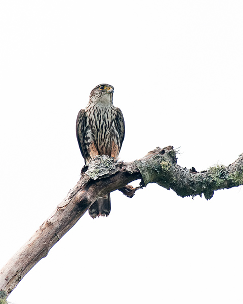 Male Merlin (4:44:33 PM), just before he flew off)