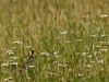 Bobolink in Tall Grass