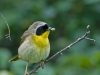 Common Yellowthroat with Prey