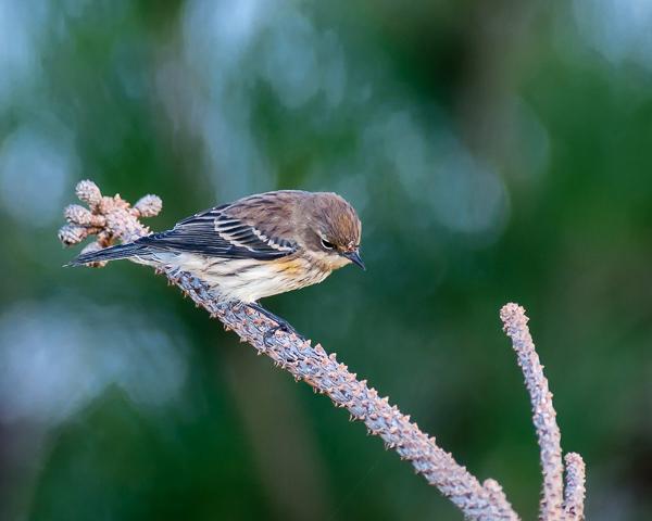Yellow-rumped Warbler #1