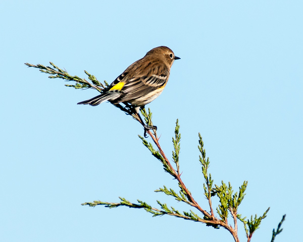 Yellow-rumped Warbler #2