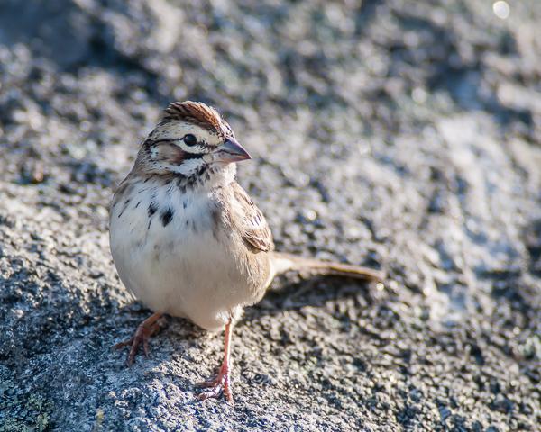 Lark Sparrow #1