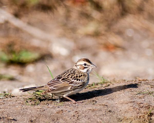 Lark Sparrow #2