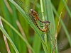 Meadowhawk (mating wheel)