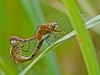 Meadowhawk (mating wheel)