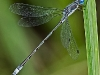 Spotted Spreadwing (male) #1