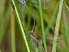Spotted Spreadwing (tandem pair)
