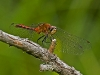 Meadowhawk (male)