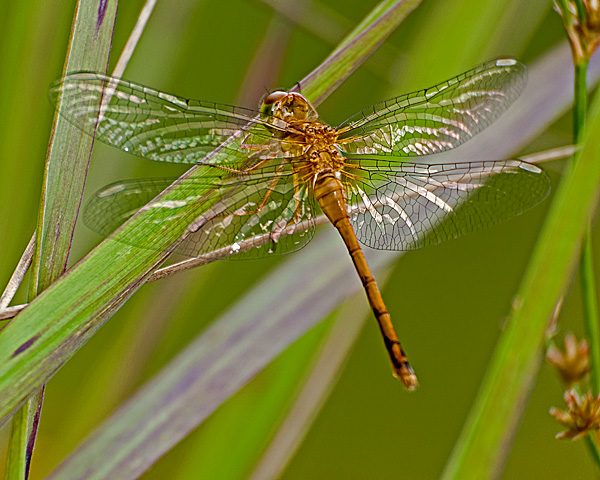 Meadowhawk sp? (teneral female)
