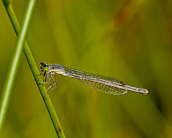 Eastern Forktai (pruinose female)