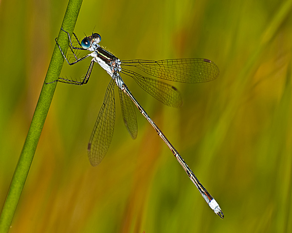 Swamp Spreadwing (male)