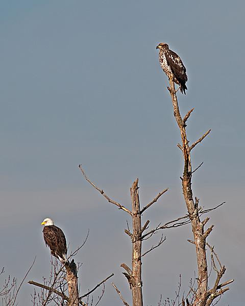 Bald Eagle Pair #1