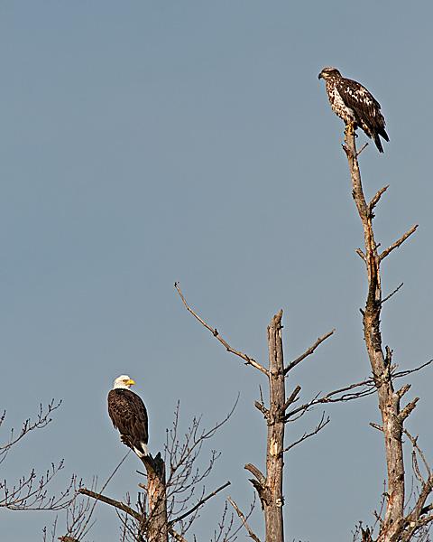 Bald Eagle Pair #2