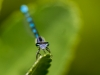 Little Bluet (male) #2