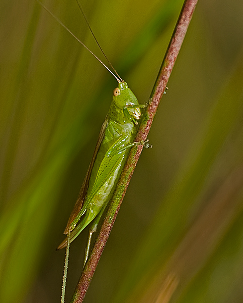 Grasshopper #1