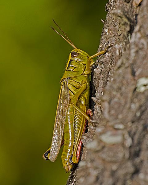 Grasshopper #2