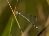 Damselfly (ID needed)