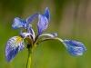 Blueflag Iris