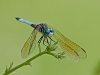 Blue Dasher (male)