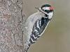13 - Downy Woodpecker