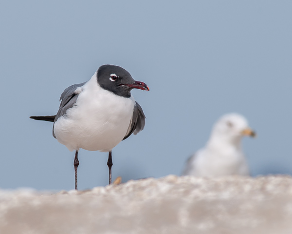Laughing Gull #1