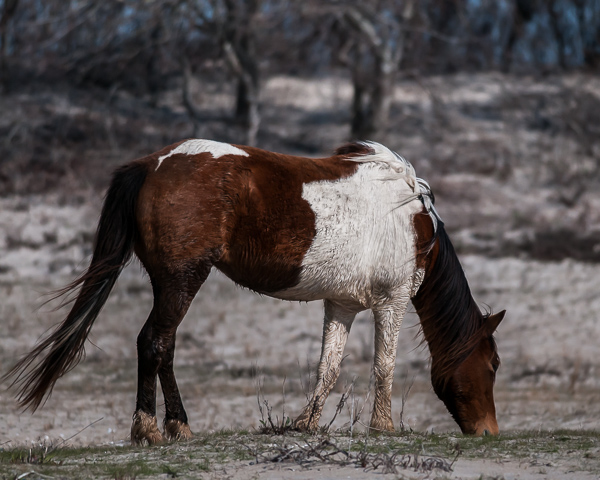 Assateague Horse #2