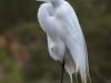 Great Egret #2
