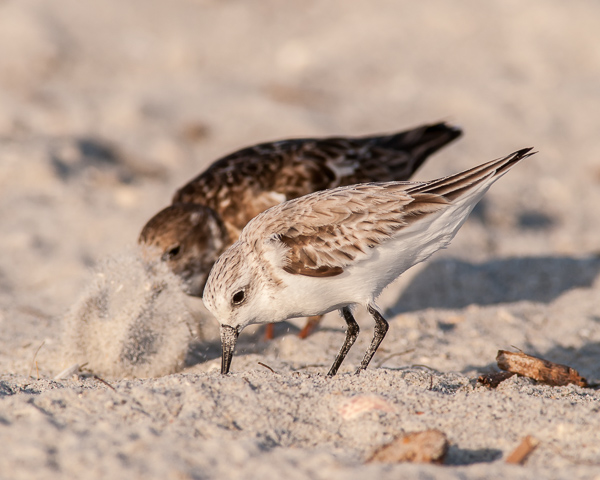 Ruddy Turnstone (back) and Western or Semipalmated Sandpiper