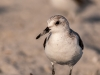 Western or Semipalmated Sandpiper #2