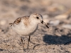 Western or Semipalmated Sandpiper #3