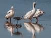 White Pelicans & Reddish Egret