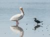 White Pelican & Double-Crested Cormorant