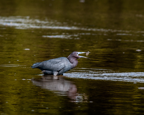 Little Blue Heron with Prey #2