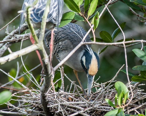 Yellow-crowned Night Heron Building Nest