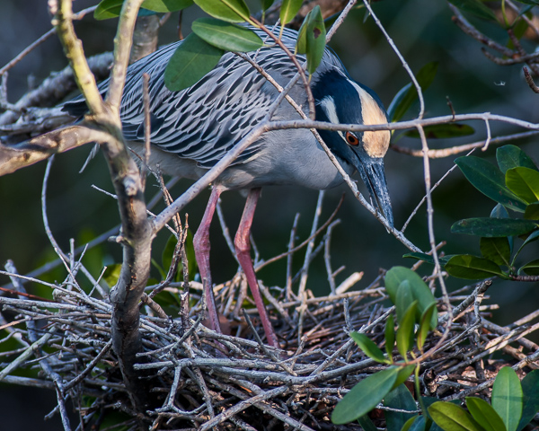 Yellow-crowned Night Heron Building Nest #2