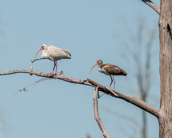 White Ibises (juvenile on right)