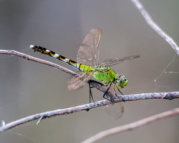 Eastern Pondhawk (immature male or female)
