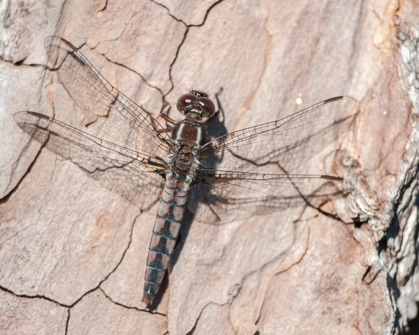 Blue Corporal (female)