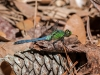 Eastern Pondhawk (male, almost mature)