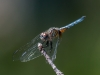 Blue Dasher (male) #2