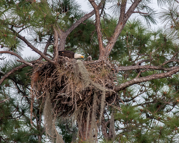 Bald Eagles (adult and nestling) on Nest