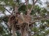 Bald Eagles (adult and nestling) on Nest