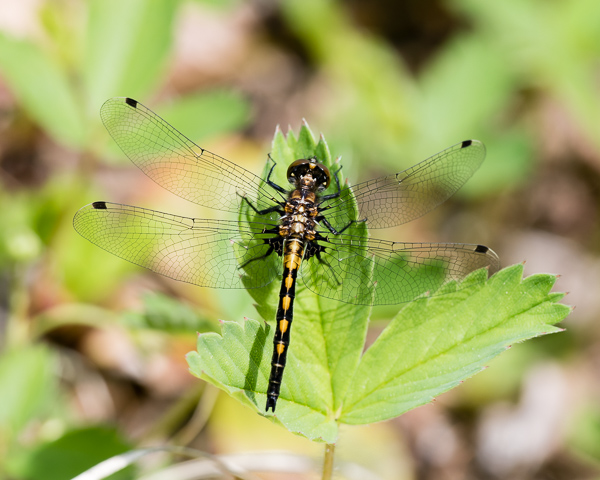Hudsonian Whiteface (imm. male or female) #1